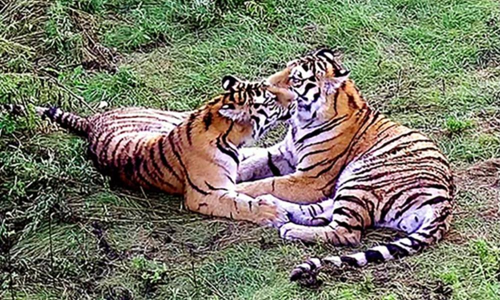 Saikhan and female  7 %c2%a9 princo amur tiger center