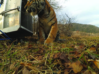Amur tiger release WWF Russia