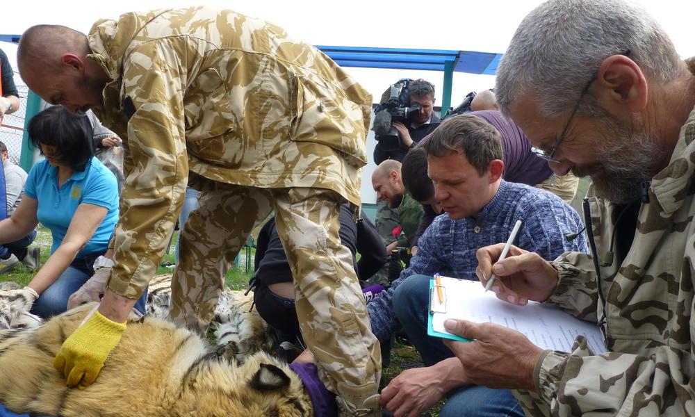 Saikhan tiger before release Yulyia Fomenko