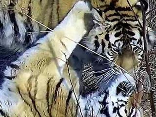 Saikhan and Lazovka at tiger center 3 Yulyia Fomenko