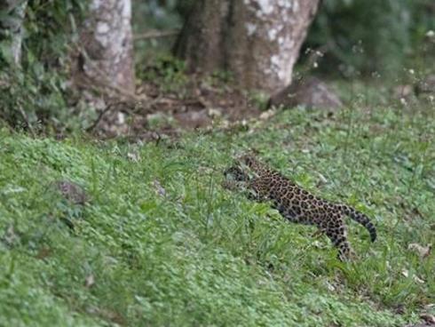 Jaguar Brazil Iguazu National  Park
