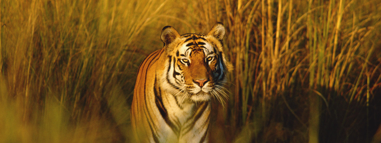 tiger | species | wwf