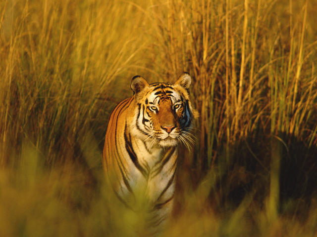 Bengal Tiger | Species | WWF