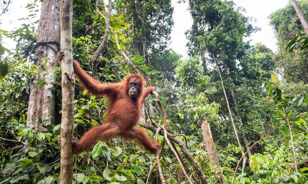 sumatran orangutan Neil Ever Osborne 6919