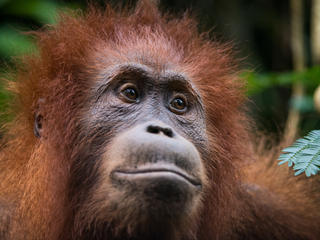 sumatran orangutan willy Neil Ever Osborne 3797