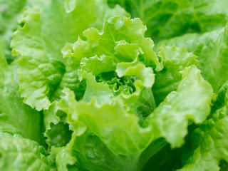 Close-up of romaine lettuce