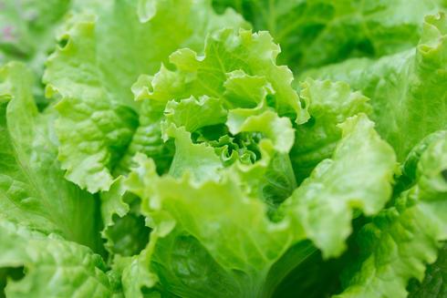Close-up of romaine lettuce