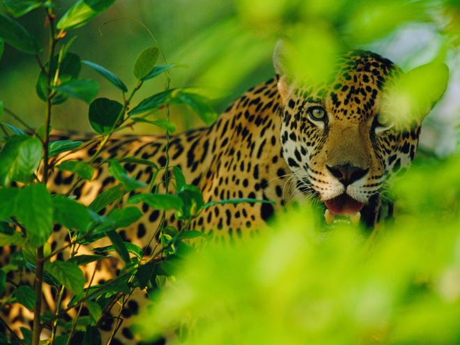 male Jaguar {Panthera onca}, Pantanal, Brazil