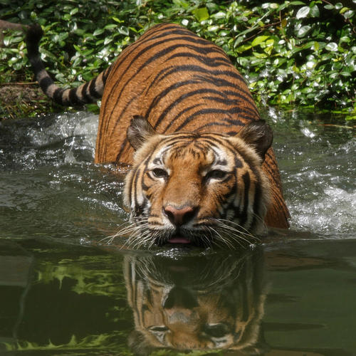 Tiger wading into a pool of water