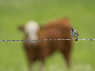 A bird sitting on a wire fence with a cow in the background