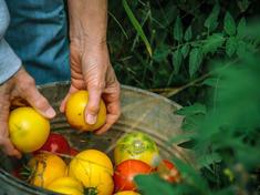 Tomatoes days edge wwf us ww225601