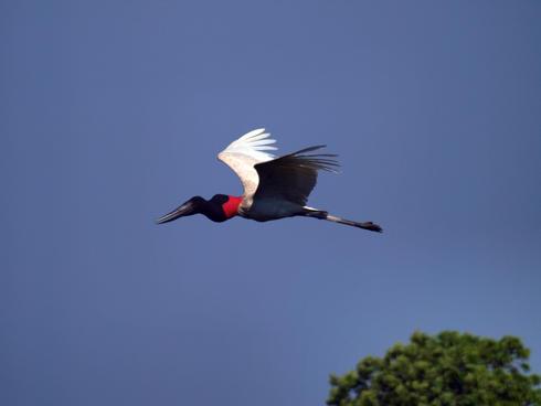Jabiru stork flying