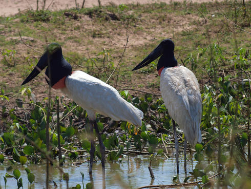 Pair of Jabiru storks on the ground