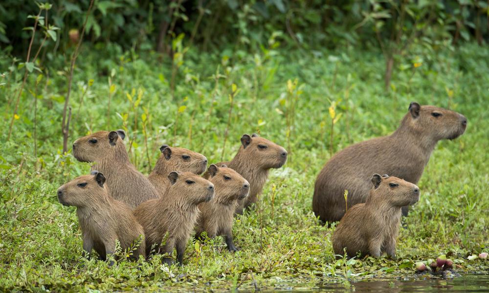 Capybara ww261629