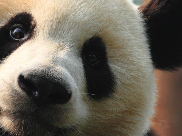 Wild Panda for IRA Rollover effott
