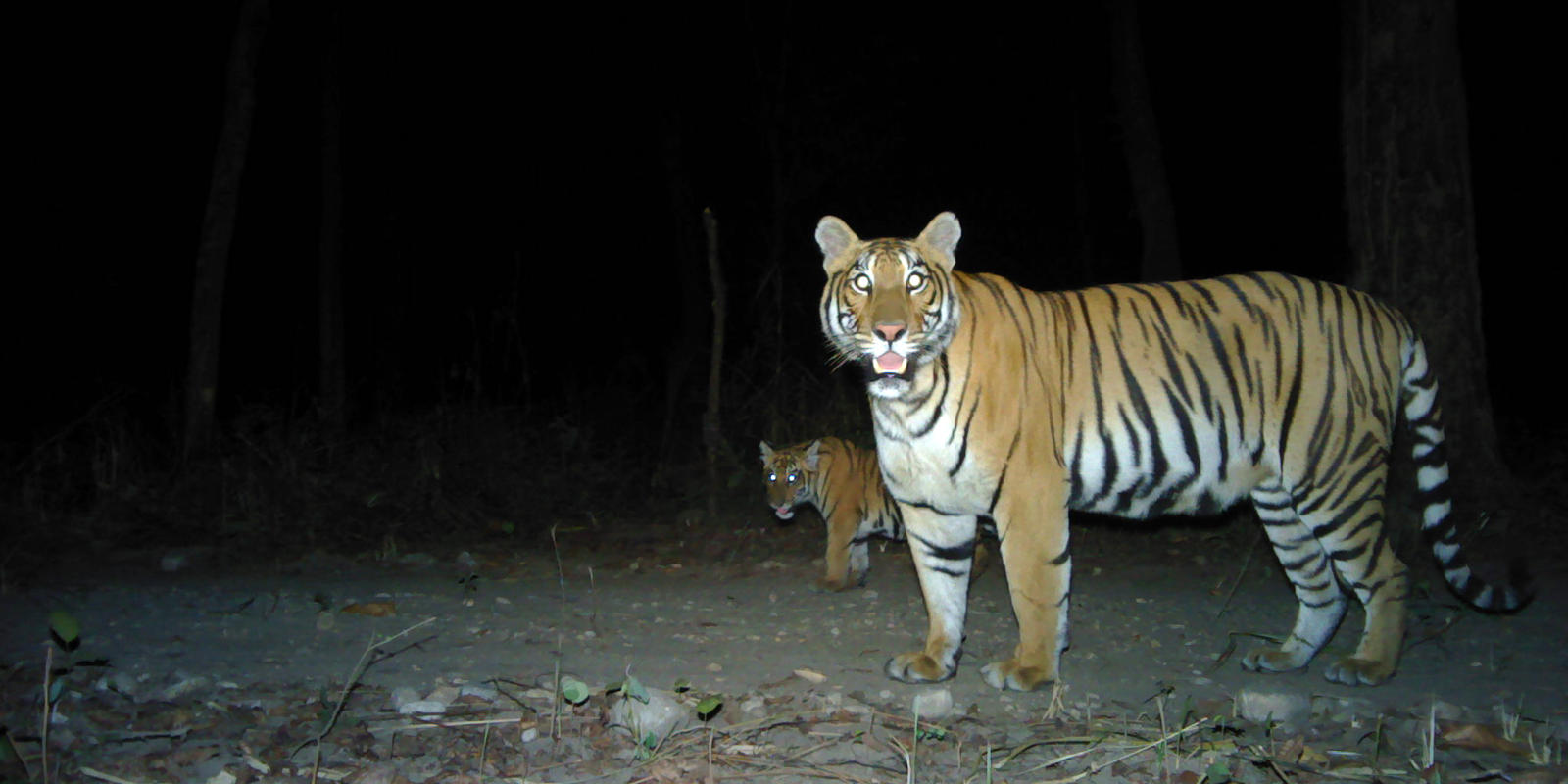 Nepal nearly doubles its wild tiger population | Stories | WWF