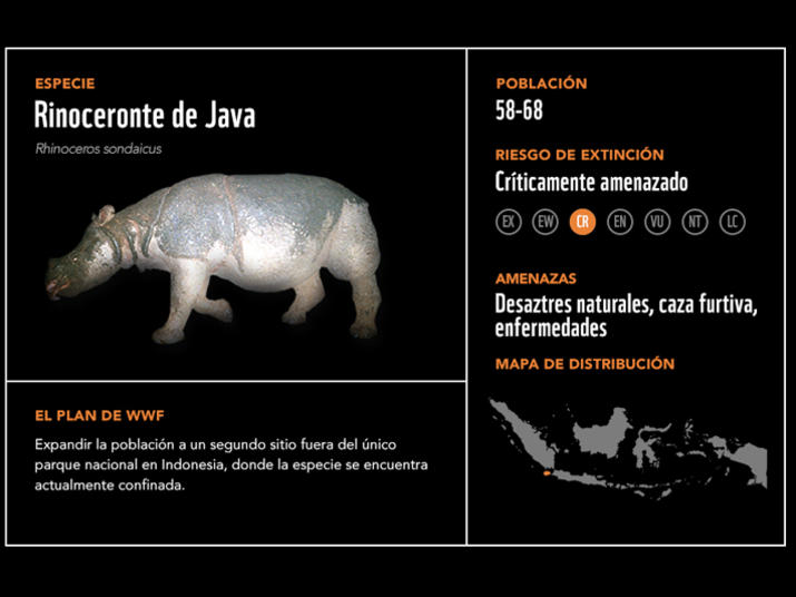 Rinoceronte de java2