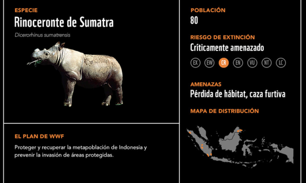 Rinoceronte de Sumatra2