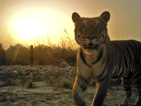 camera trap image of a tiger in Nepal