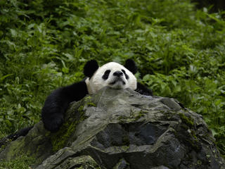 Giant Panda resting in Sichuan Province, China