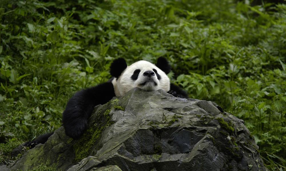 gigant panda