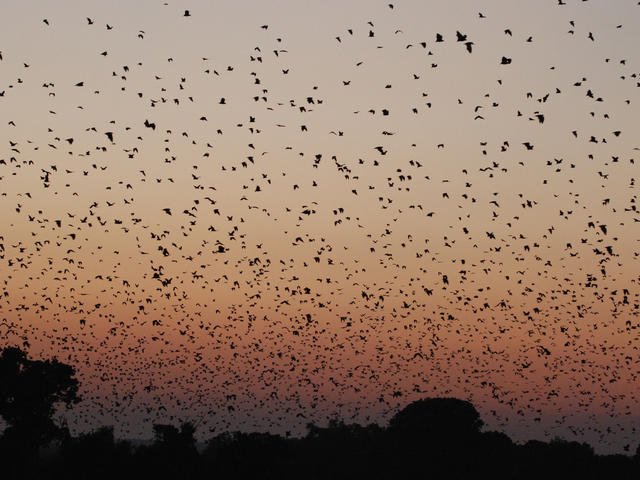 Bats flying in the evening