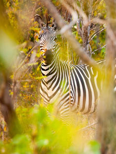 zebra Greg Armfield WW1113071