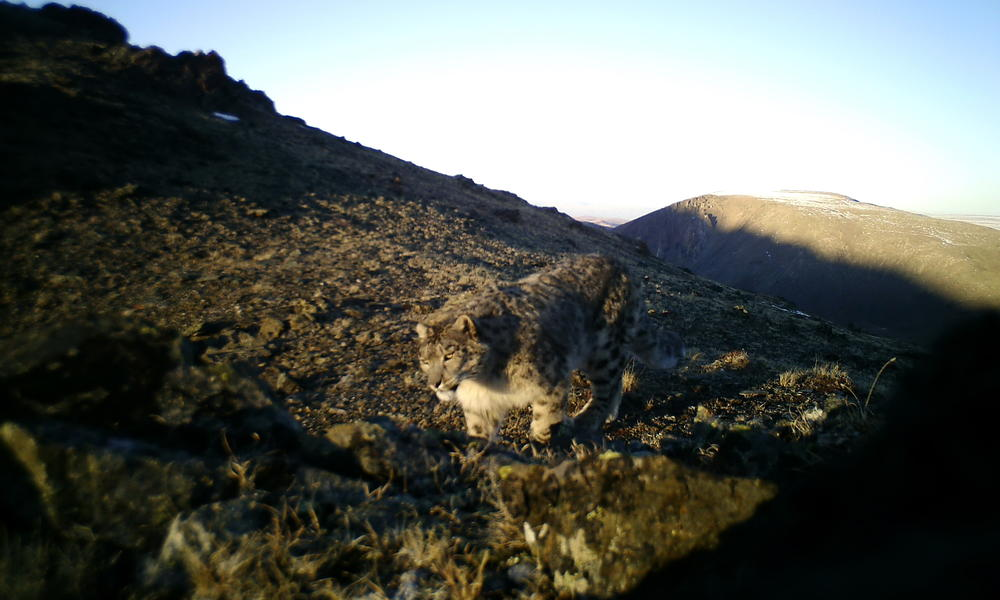 snow leopard camera trap