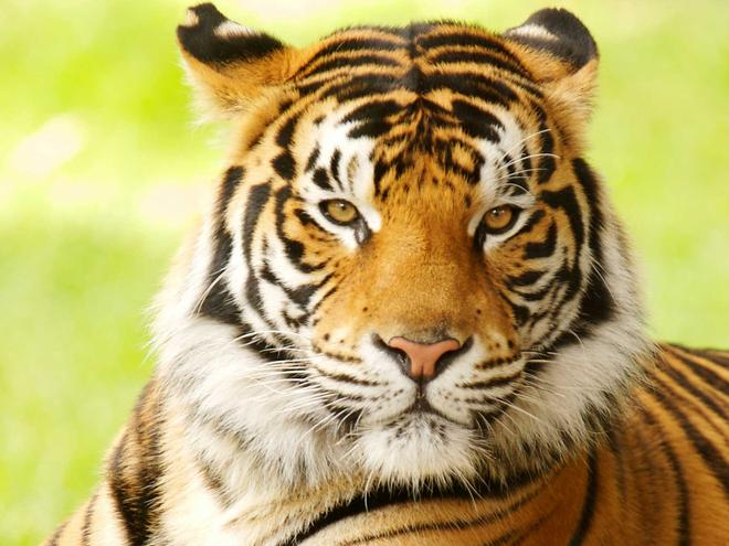 Image result for IMAGE OF A TIGER