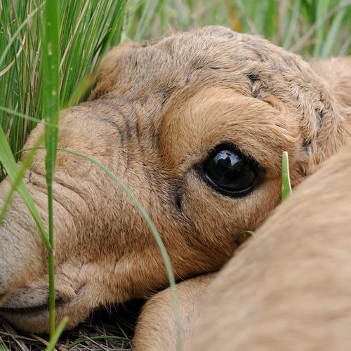 newborn saiga in the grass