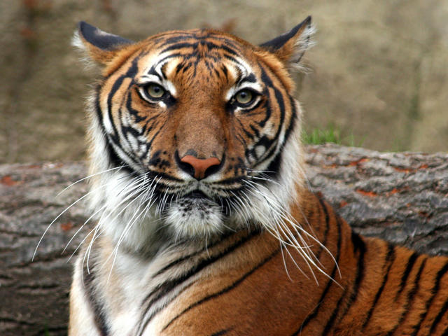 Indochinese Tiger : Species : WWF