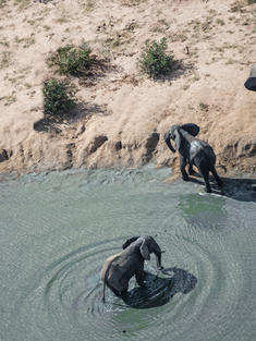 African elephants from an aerial drone