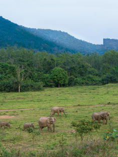 Asian elephants in a field with mountains in the background