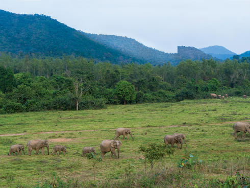 Herd of Asian elephants in a field