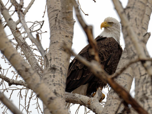 discover yellowstone eagle winter2018
