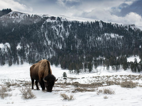 discover yellowstone bison winter2018