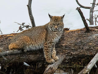 discover yellowstone bobcat winter2018