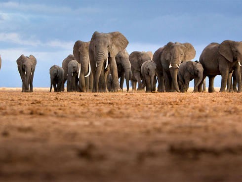 A large herd of African elephants