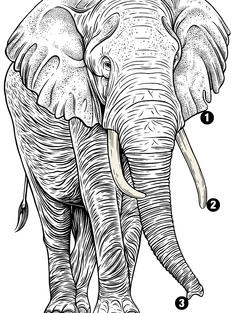 Illustration of an African elephant