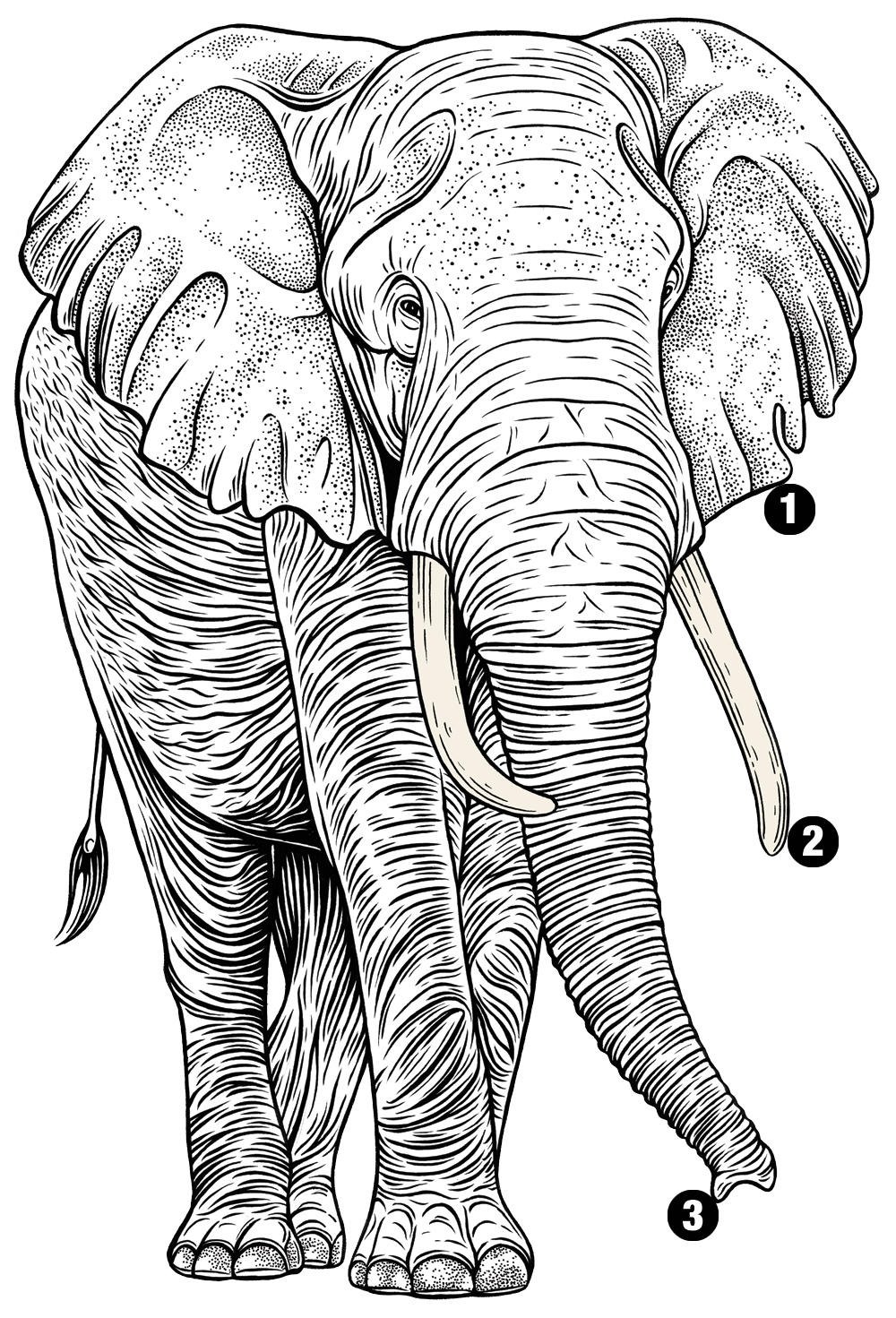 feature illus african elephant num winter2018