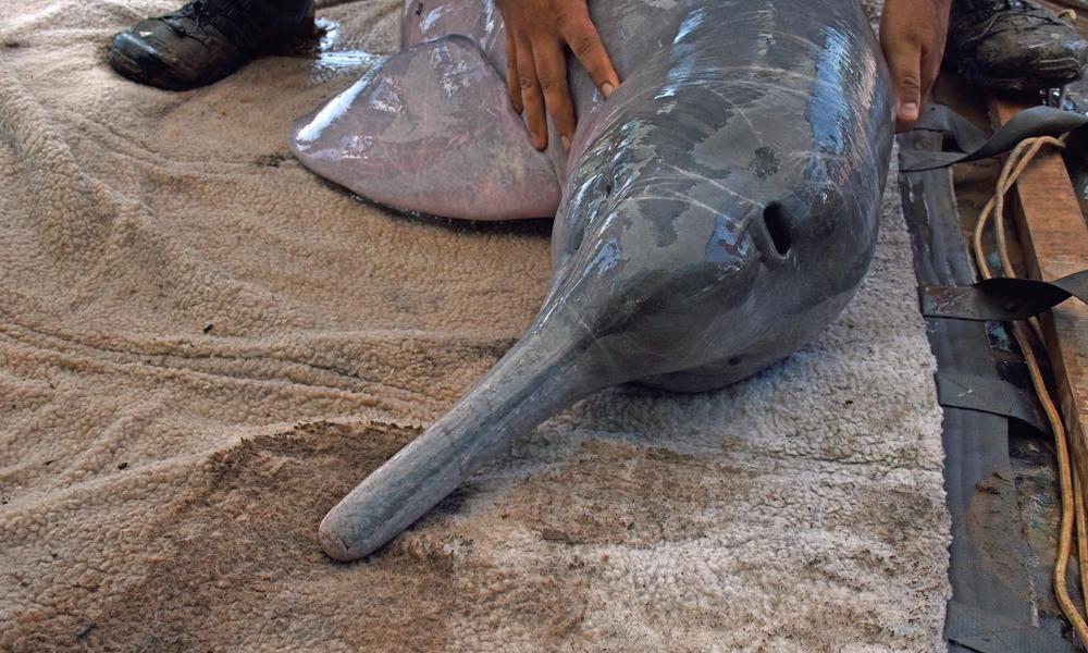 dolphin in stretcher Jeffrey Davila