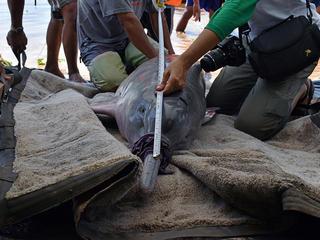 dolphin tagging Jeffrey Davila