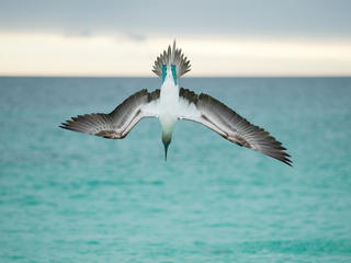 blue footed booby galapagos Tui De Roy WW24425