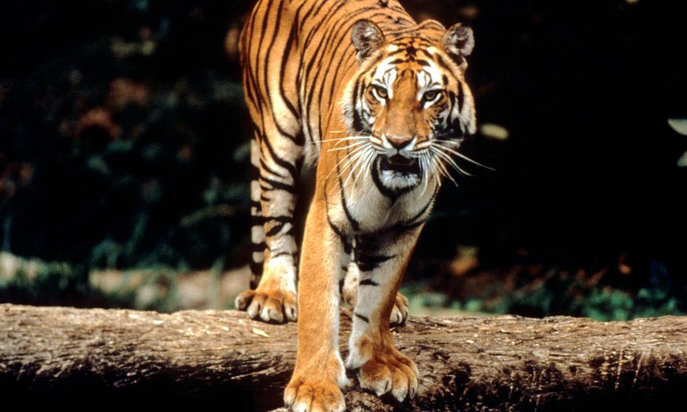 Αποτέλεσμα εικόνας για sumatran tiger