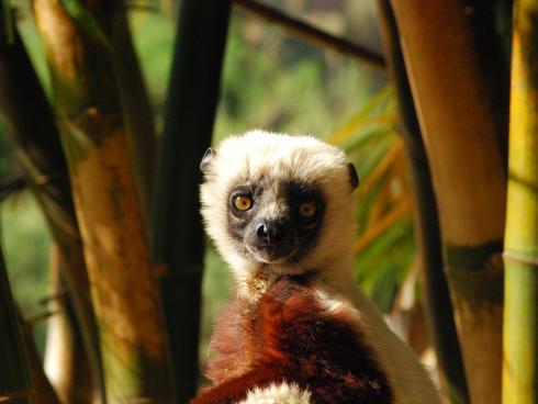 Sifaka lemur in lemurs park, Antananarivo, Madagascar