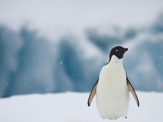 Portrait of Adelie penguin