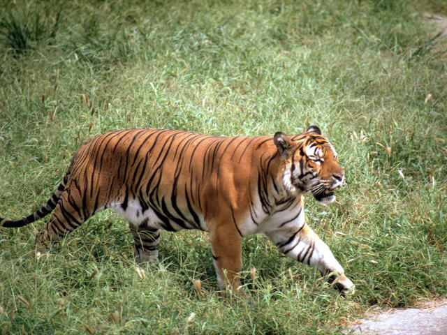 South China Tiger Species Wwf