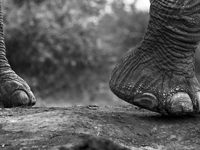 Black and white photo of elephant feet