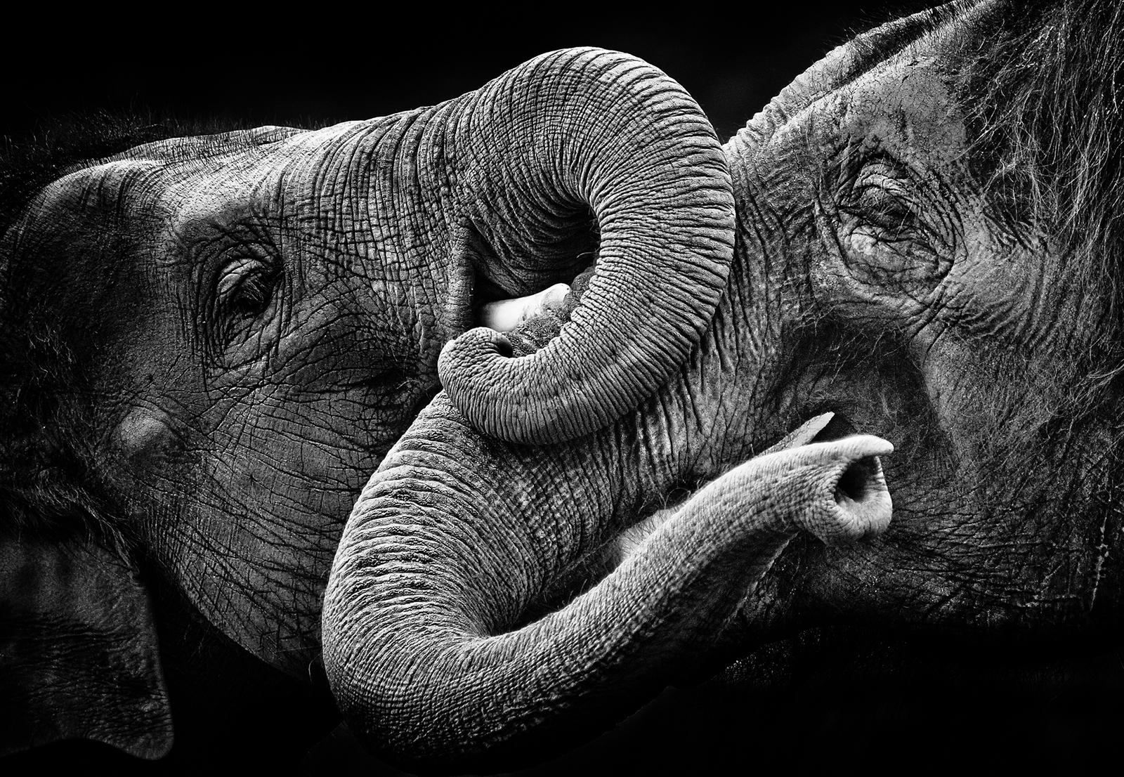 Two elephants interlocking trunk