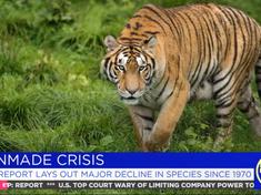 Tiger on cheddar
